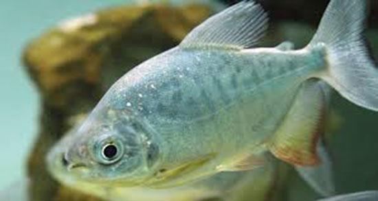 تعبیر خواب ماهی خریدن از بازار و هدیه گرفتن ماهی از دیگران در خواب چیست
